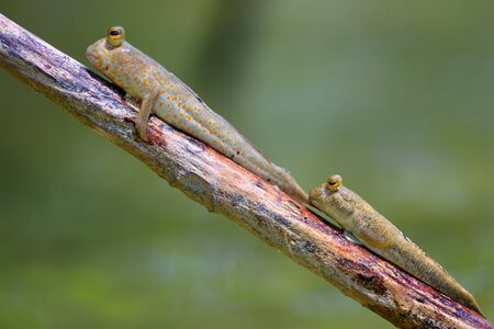 Couple of giant mudskipper, Periophthalmodon schlosseri, standing on a mangrove tree branch. Stockfoto