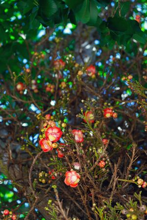 Sala tree (Shorea robusta) flowers in Thailand