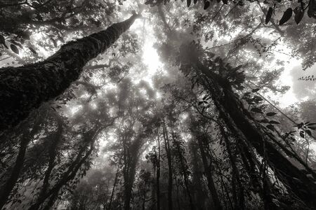 Black and white misty tropical forest in early morning, perspective view from below