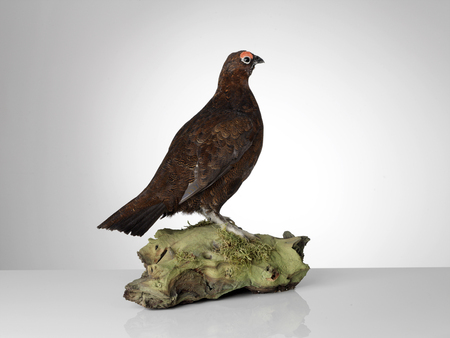 Taxidermy Grouse on grey background Stock Photo