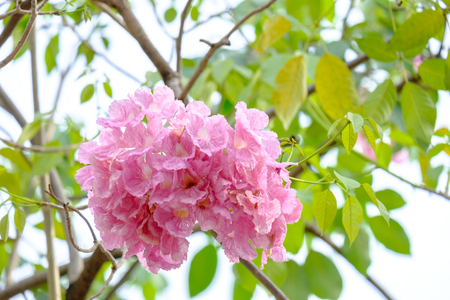 Pink trumpet flowers are blooming in full of trees stock photo pink trumpet flowers are blooming in full of trees stock photo 93283588 mightylinksfo