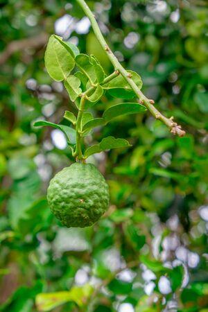 a fruit and leaf of kaffir lime