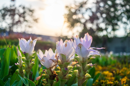 Siam Tulip in the evening light