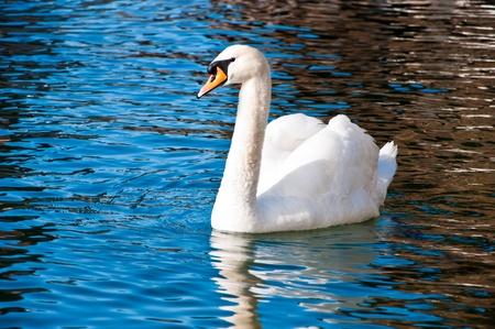 White swan swimming in the lake photo