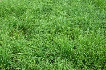 tuberosum: Garlic chives (Allium tuberosum) growing on a soil Stock Photo