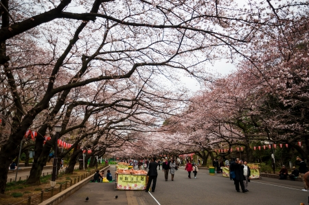 Tokyo, Japan - April 3, 2012 : Japanese people walking along the steet with cherry blossom (sakura) blooming in Ueno park.