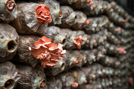 spawn: Pink oyster mushroom  Pleurotus djamor   on spawn bags Stock Photo