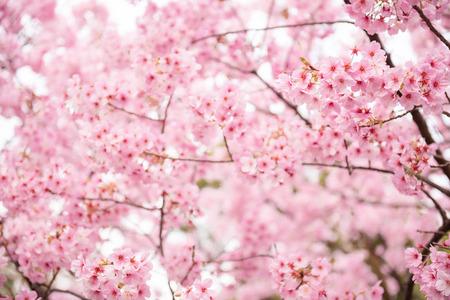 Beautiful pink cherry blossom  Sakura  flower at full bloom in Japan