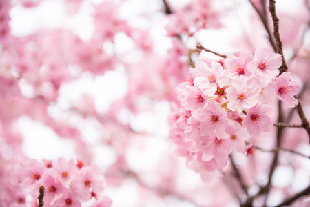 Beautiful pink cherry blossom  Sakura  flower at full bloom in Japan