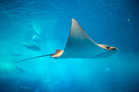 Stingray in the aquarium of Okinawa 版權商用圖片