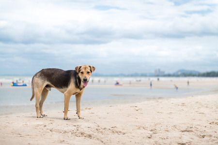 purebreed: A Thai dog standing on the beach in cloudy day