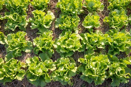 Top view of fresh green lettuce growing in a farm