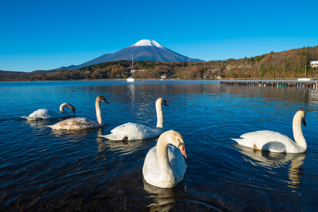 Mount Fuji and lake Yamanaka (Yamanakako) with swans, Yamanashi, Japan