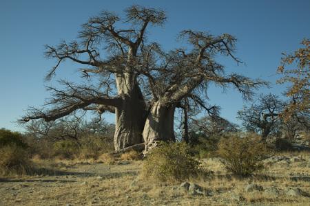 Baobab tree on Khubu island Stockfoto
