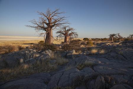 Baobab Tree at Khubu Island Stockfoto - 123242048