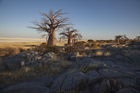 Baobab Tree at Khubu Island
