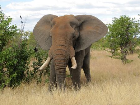 African Elephant Bull in Kruger Park