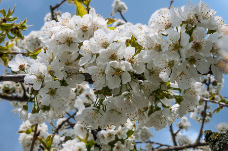 Cherry Blossoms in May Stock Photo