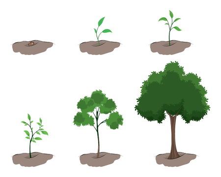 pflanze wachstum: Vector Illustration einer Wachstumsphasen des Baumes Illustration