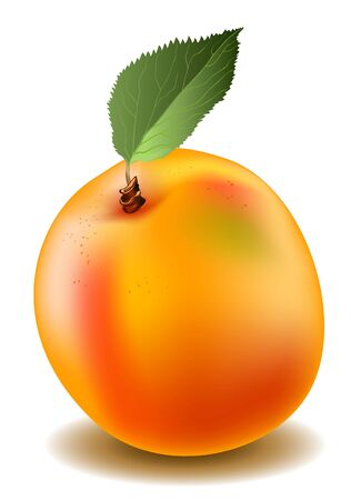macro leaf: Vector illustration of a apricot in mash