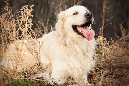 young golden retriever dog with pink tongue lay in autumn park photo