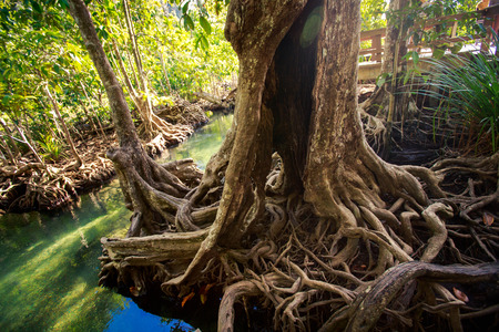 interlaced: large old mangrove tree trunk with interlaced whimsically roots and hollow against mangrove trees