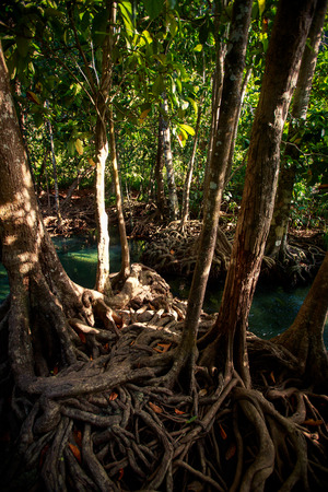 seldom: closeup mangrove trees with interlaced whimsically roots under seldom sunlight