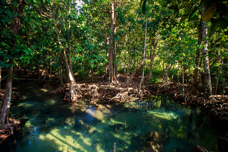seldom: green mangrove trees with interlaced whimsically roots under seldom sunlight