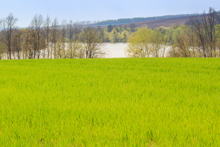 winter wheat: panorama of green field of winter wheat at background of leafless trees and frozen lake in early spring