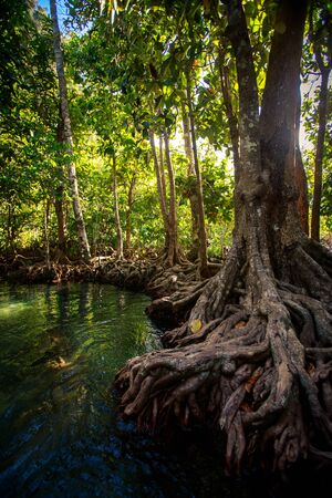 seldom: large old mangrove tree trunk with interlaced whimsically roots near river against mangrove trees