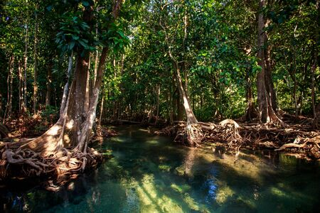 gleams: gleams of small river among green mangrove trees with interlaced roots under seldom sunlight in tropical tourist park Stock Photo