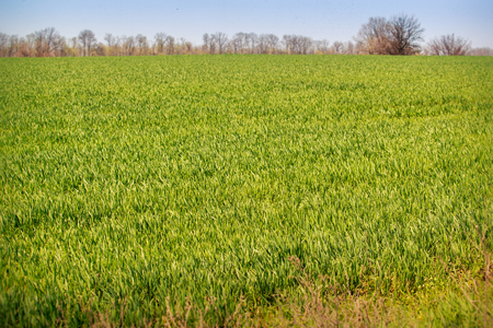 boundless: panorama of boundless green wheat field upto forest on skyline Stock Photo