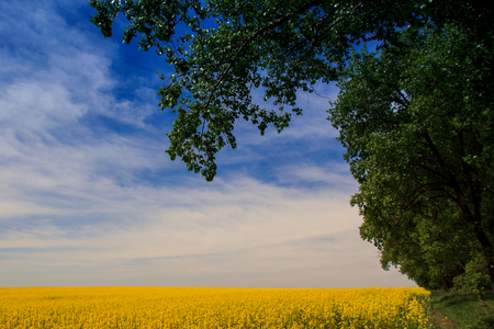 fleecy: panorama of yellow rapeseed field in blossom under fantastic blue sky with fleecy clouds Stock Photo
