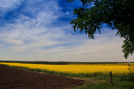 the ploughed field: panorama of countryside with yellow rapeseed field in blossom ploughed field and forest