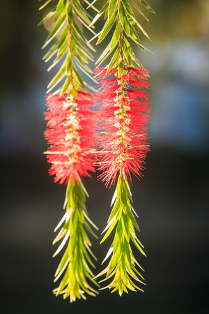 closeup tree branch with tender beautiful pink flower catkins in tropical park Stock Photo