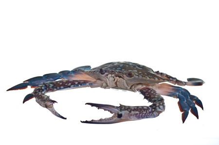 blue crab photo
