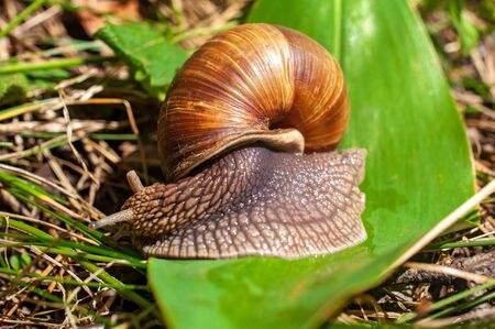 Big snail crawls on a leaf in the forest