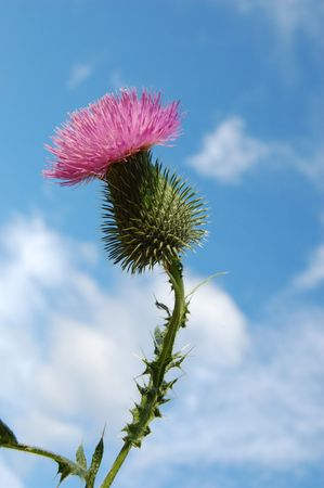 Thistle with sky in background  Stock fotó