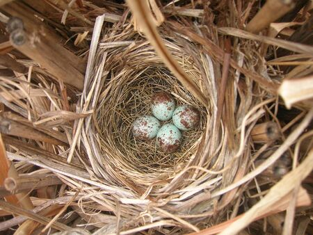 Robins bird nest with four eggs     Stock Photo