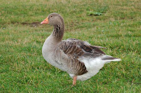 anser: Graylag goose on grass - Anser anser