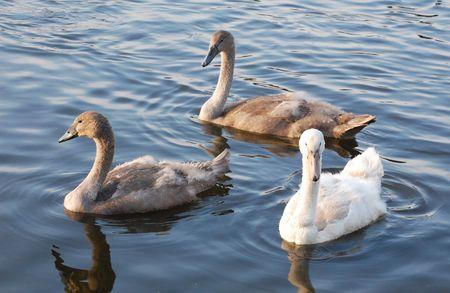 mute swan cygnets swimming  photo