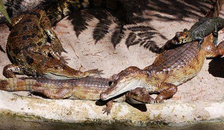 crocodiles lounging  photo