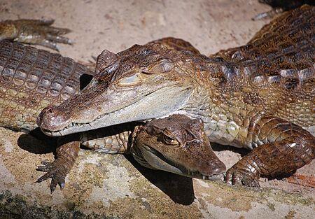 crocodile love  photo