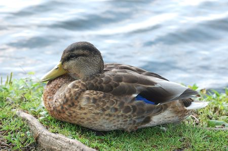 behold: black duck in the grass Stock Photo