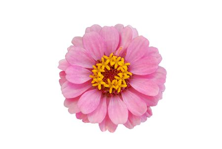 Zinnia dwarf thumbelllina isolated on white