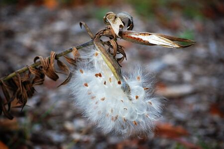 milkweed butterfly: Butterfly milkweed seedpods open and closed Stock Photo
