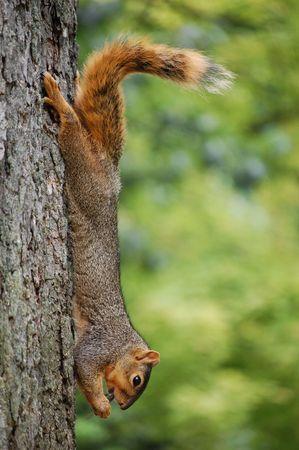 Squirrel on tree eating cicada  photo