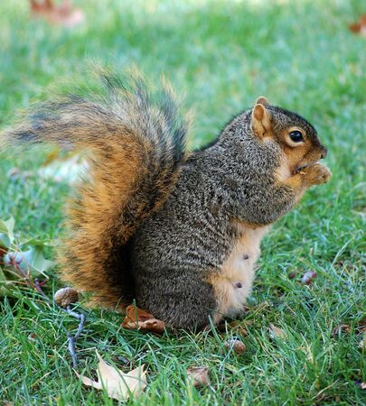 facing right:  squirrel eating nut - vertical facing right  Stock Photo
