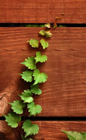 Ivy climbing wood slats in fence, green on brown photo