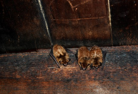 rafter: Three sleeping bats on rafters of Tipton place, Smoky Mountain National Park
